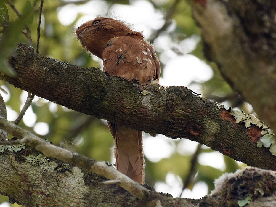 Hodgson's Frogmouth - Supaporn Teamwong