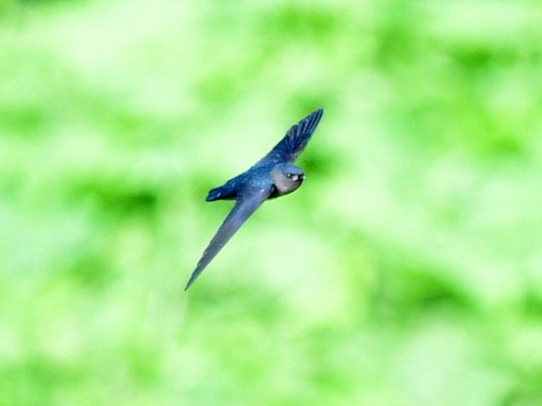 Plume-toed Swiftlet - Anonymous eBirder