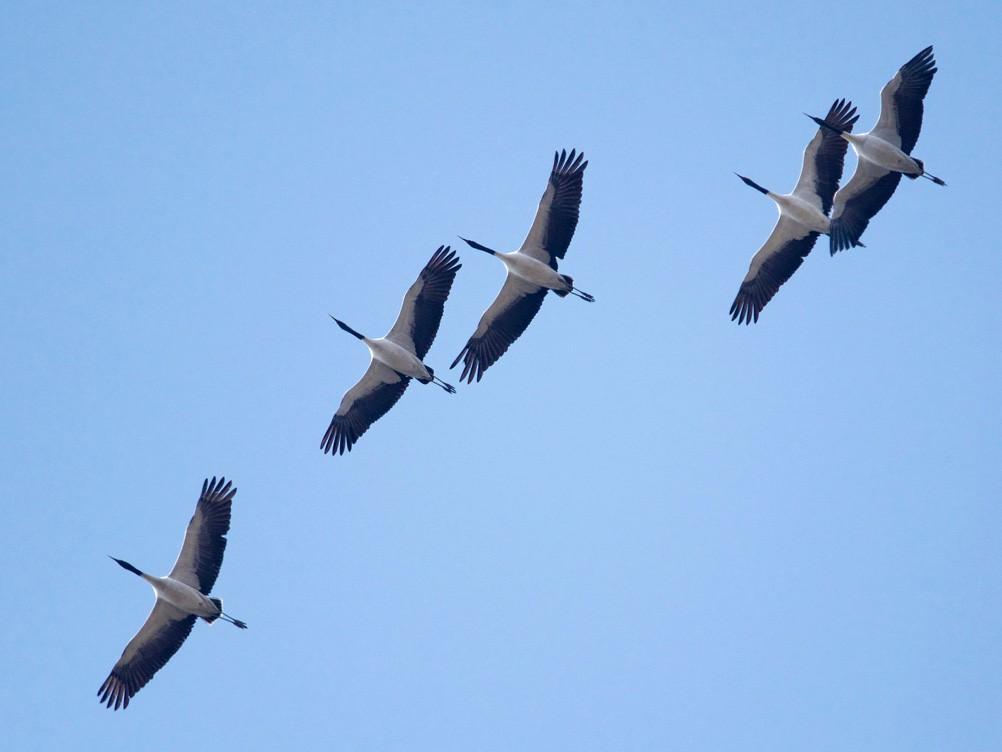 Black-necked Crane - Qin Huang