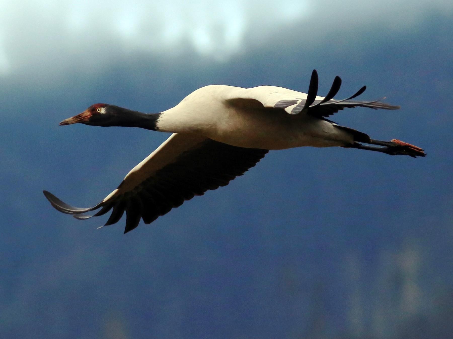Black-necked Crane - Peter Hosner
