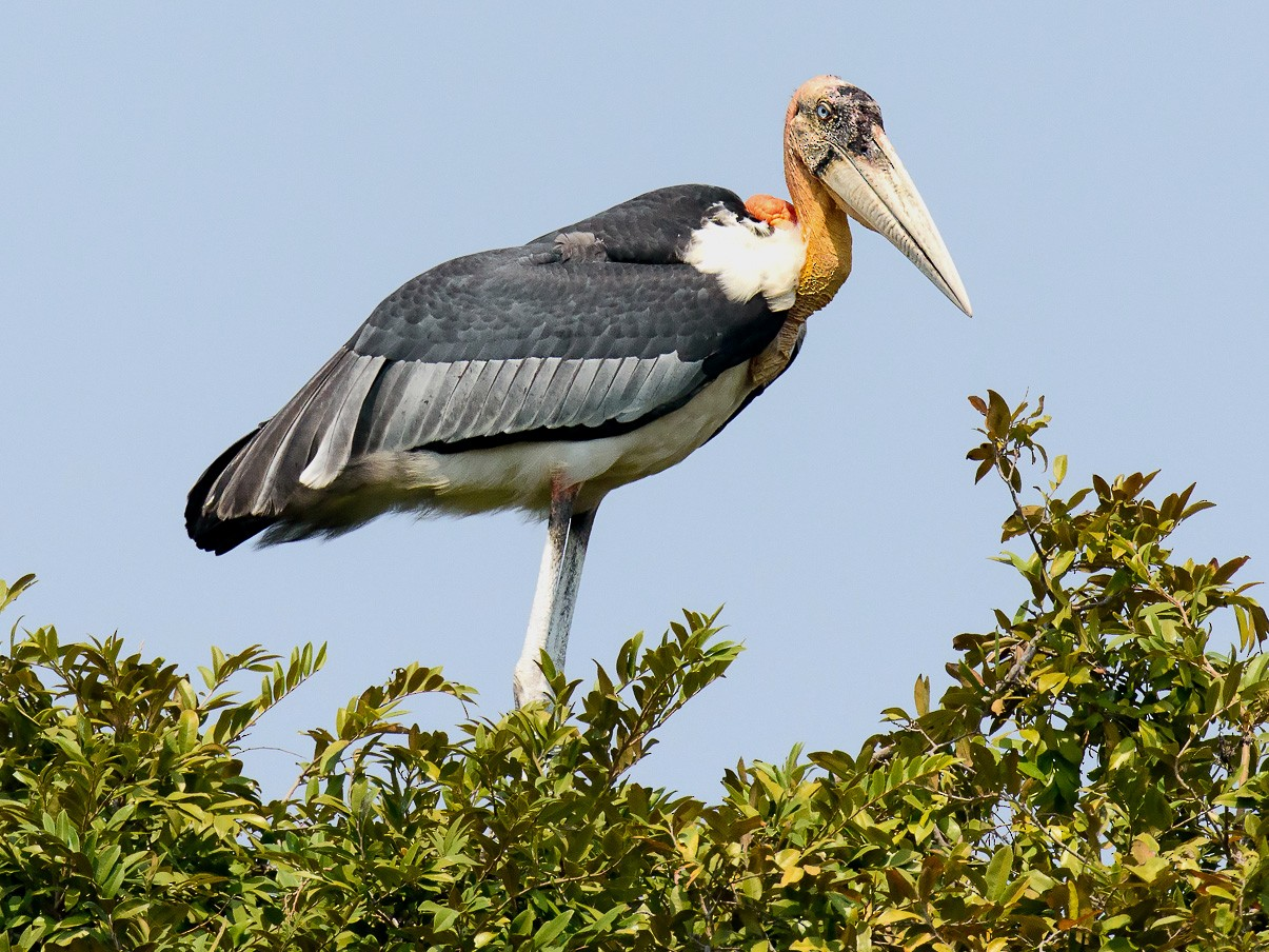 Greater Adjutant - George Pagos