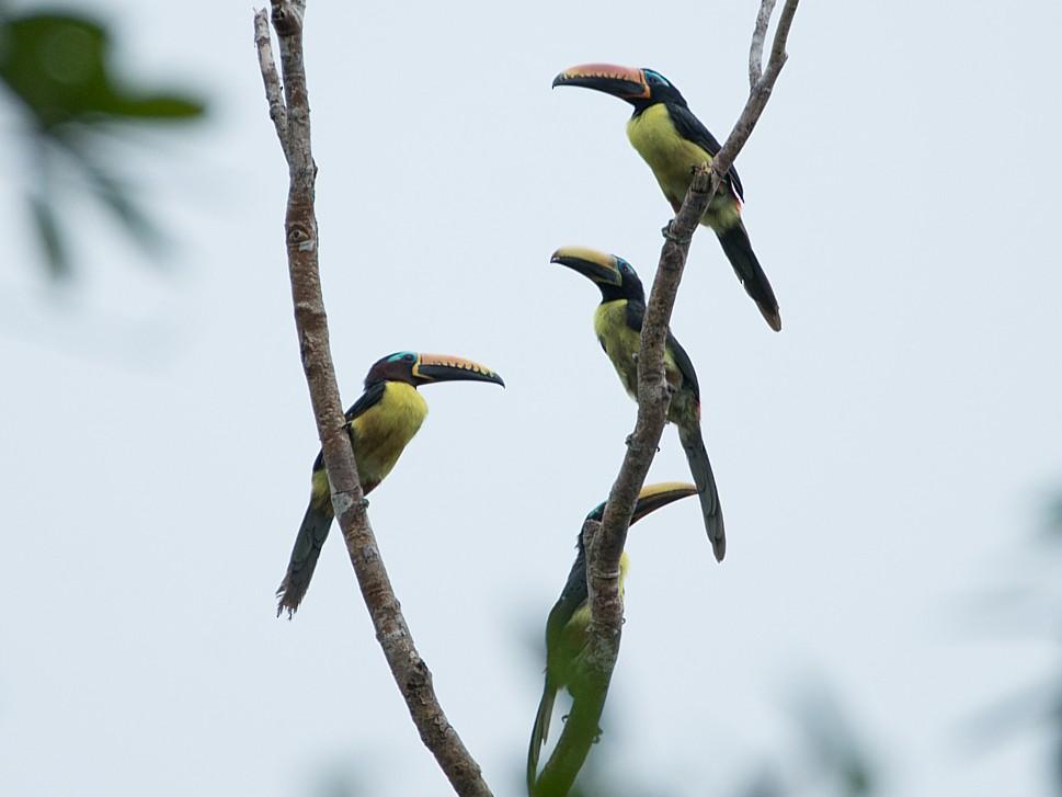 Lettered Aracari - LUCIANO BERNARDES