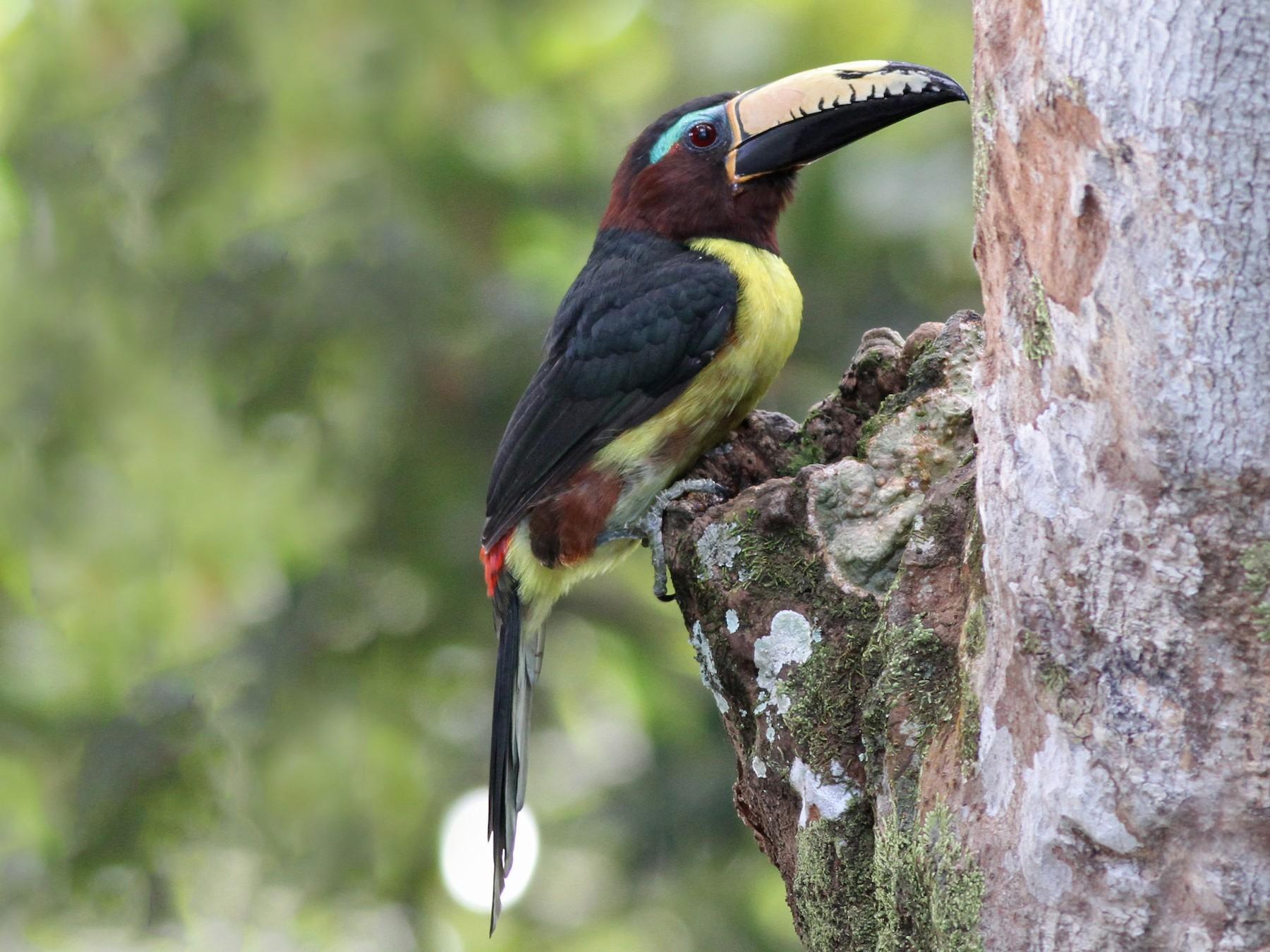 Lettered Aracari - Ian Davies