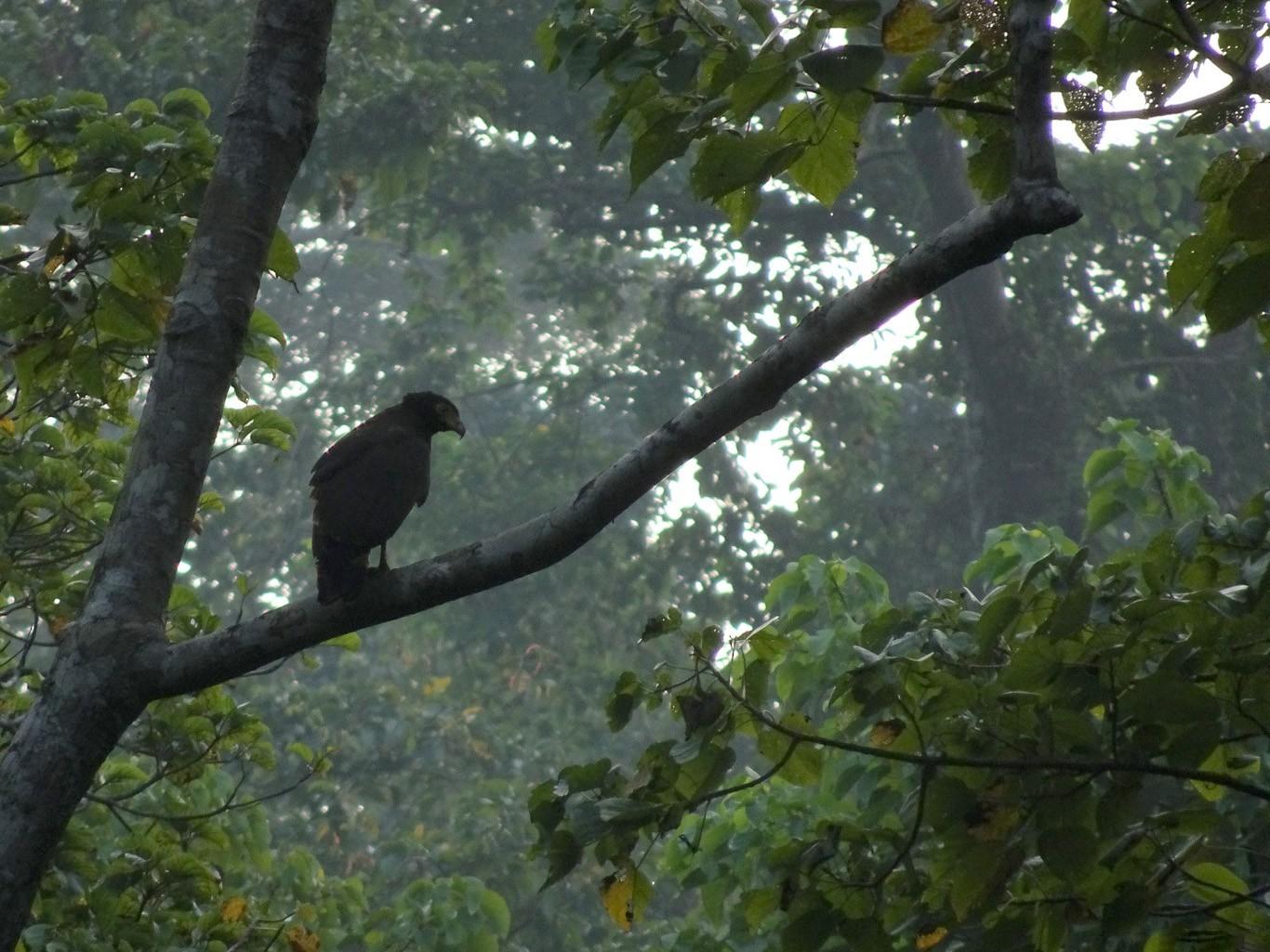 Andaman Serpent-Eagle - Ramit Singal