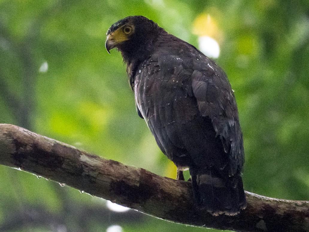 Andaman Serpent-Eagle - Saurabh Sawant