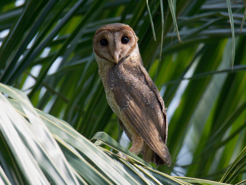 Andaman Masked-Owl - vitrag shah