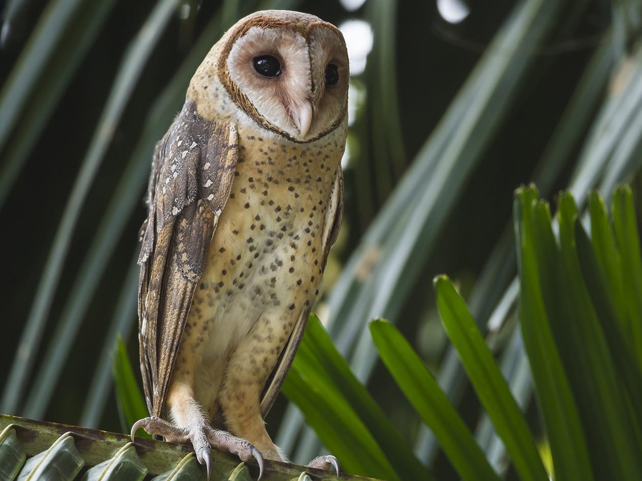 Andaman Masked-Owl - Aditya Roy