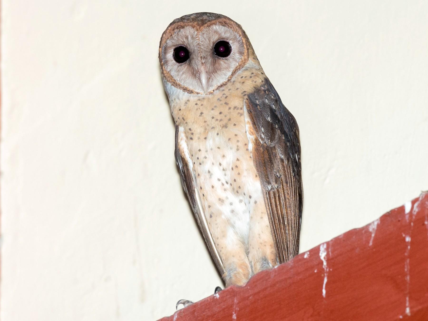 Andaman Masked-Owl - David Irving
