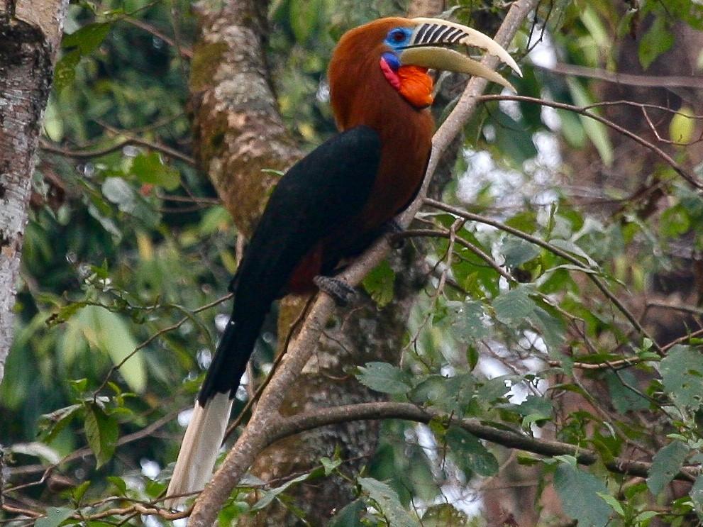 Rufous-necked Hornbill - Paul Koker