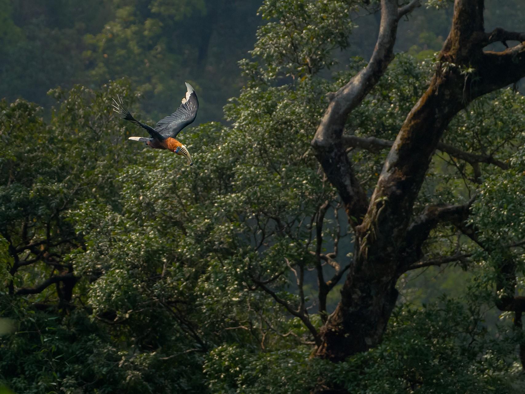 Rufous-necked Hornbill - Saurabh Sawant