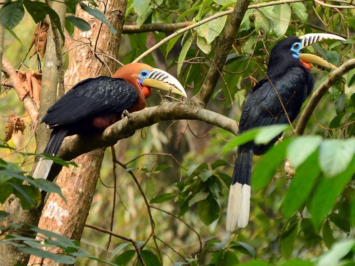 Rufous-necked Hornbill - Dipankar  Roy