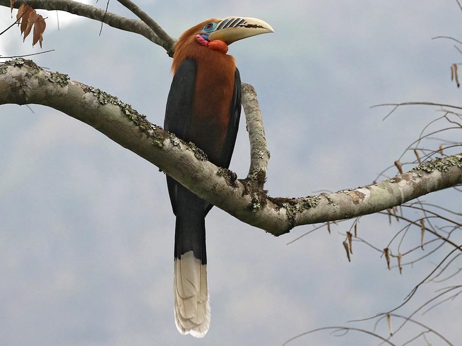Rufous-necked Hornbill - Charley Hesse TROPICAL BIRDING