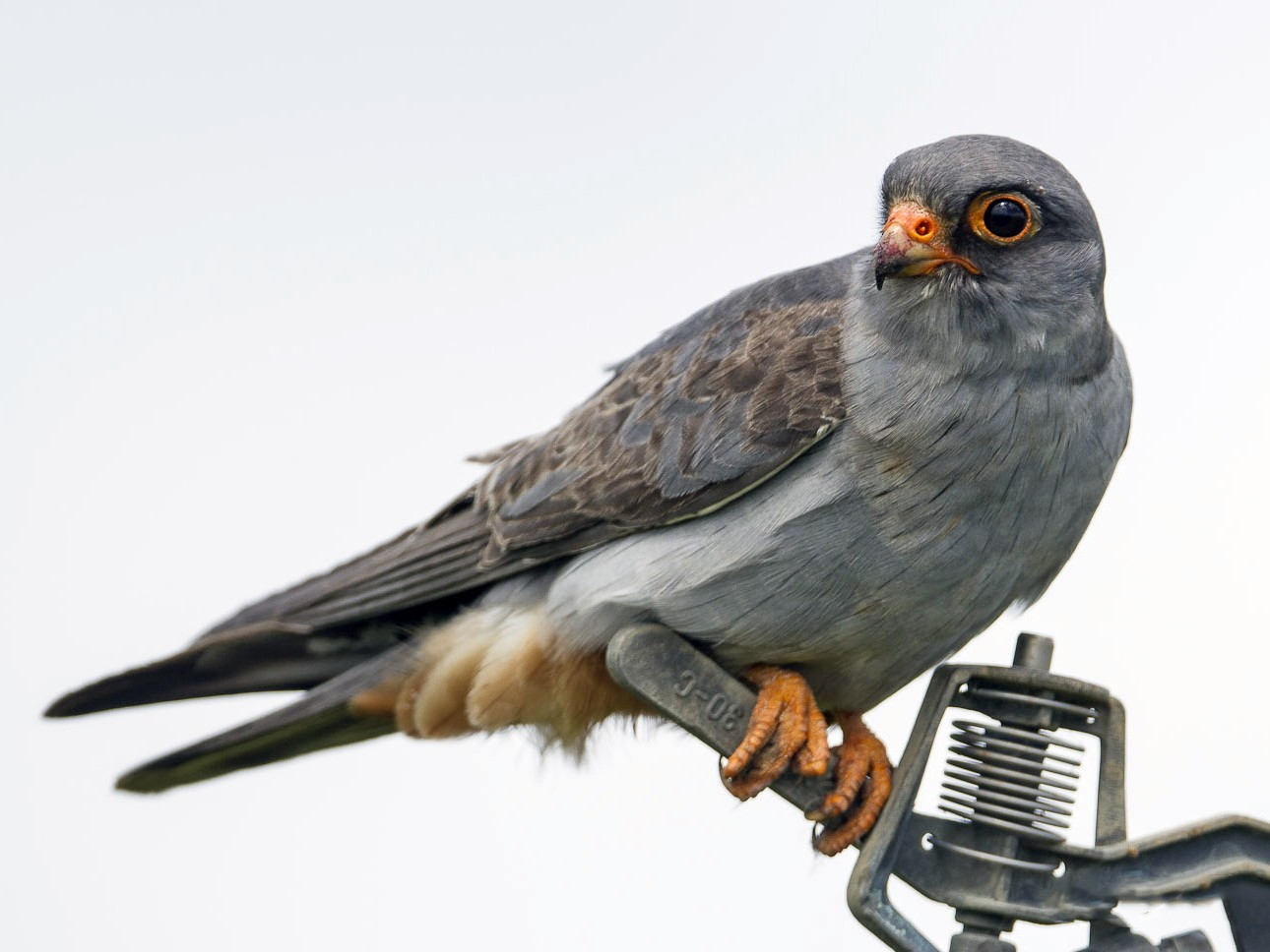 Red-footed Falcon - Ricardo Rodríguez