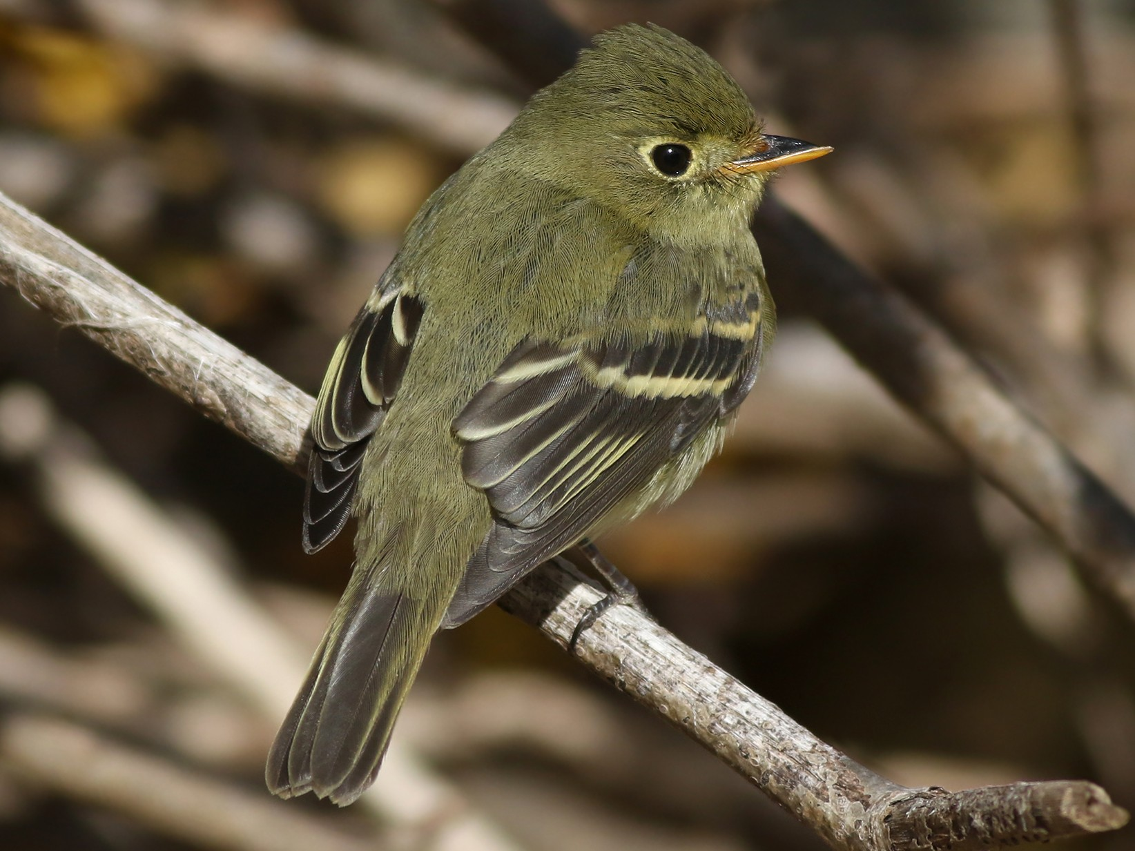 Yellow-bellied Flycatcher - Jeremiah Trimble
