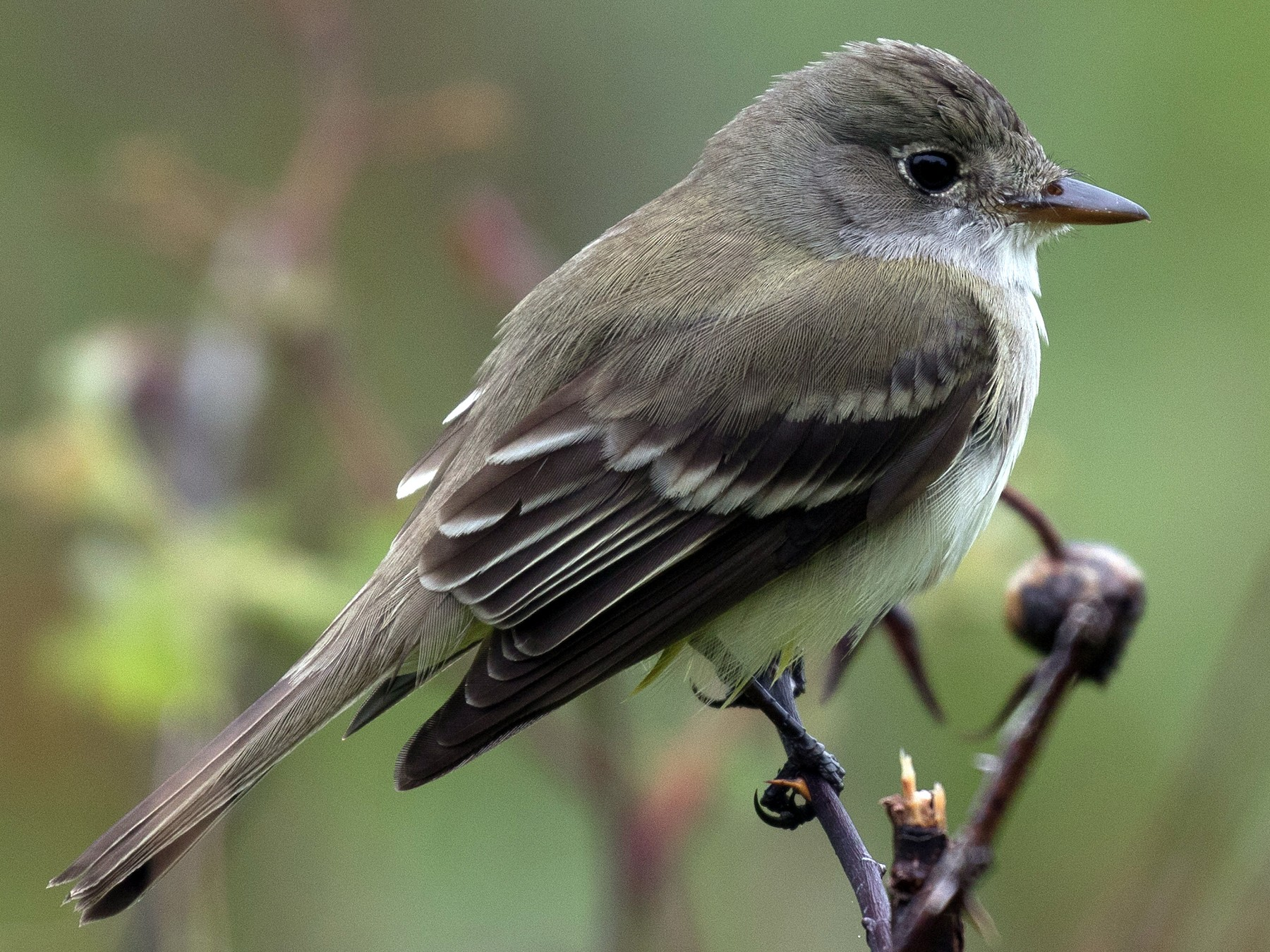 Alder Flycatcher - Simon Best
