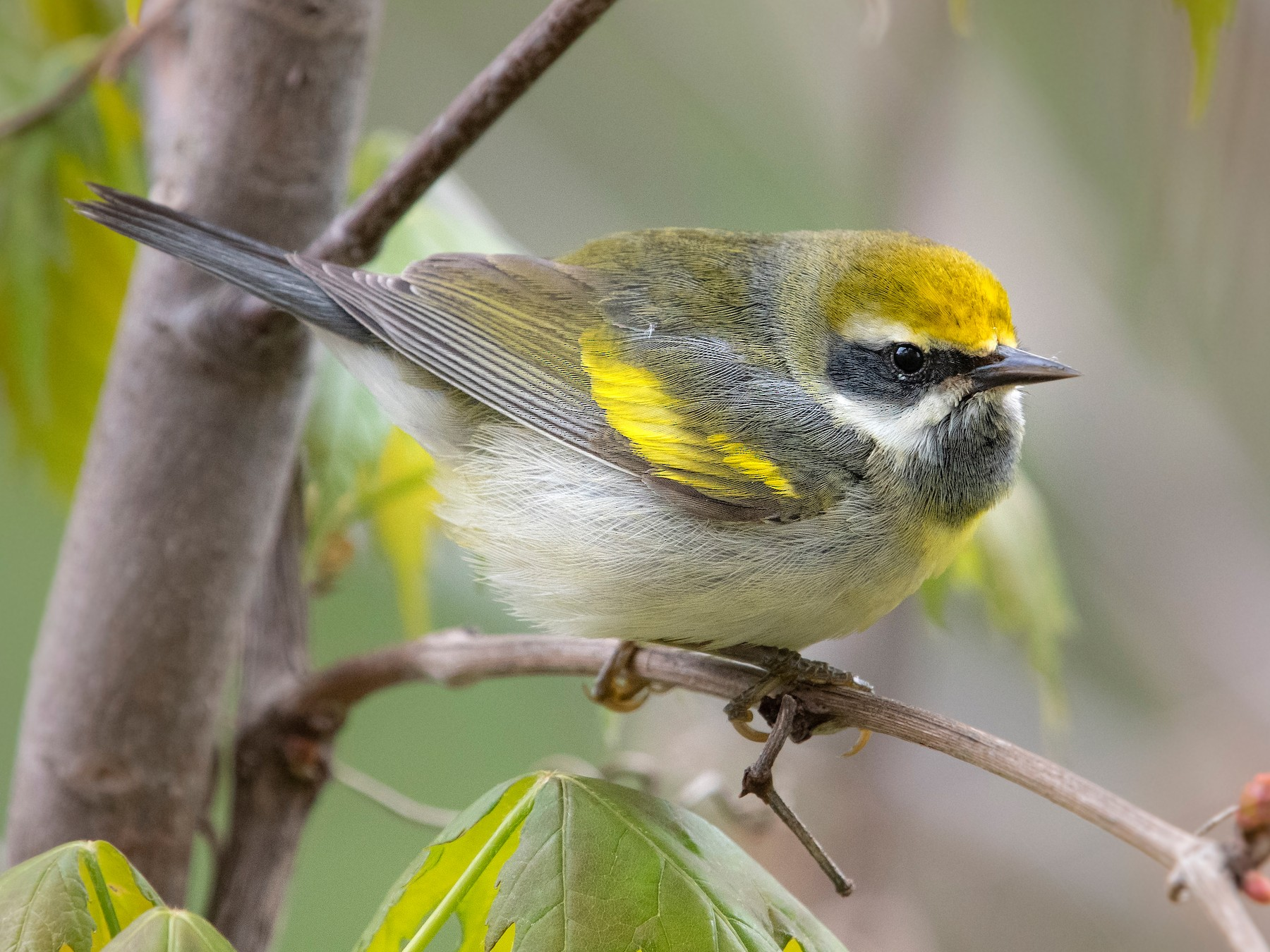 Golden-winged Warbler - Sylvain Messier