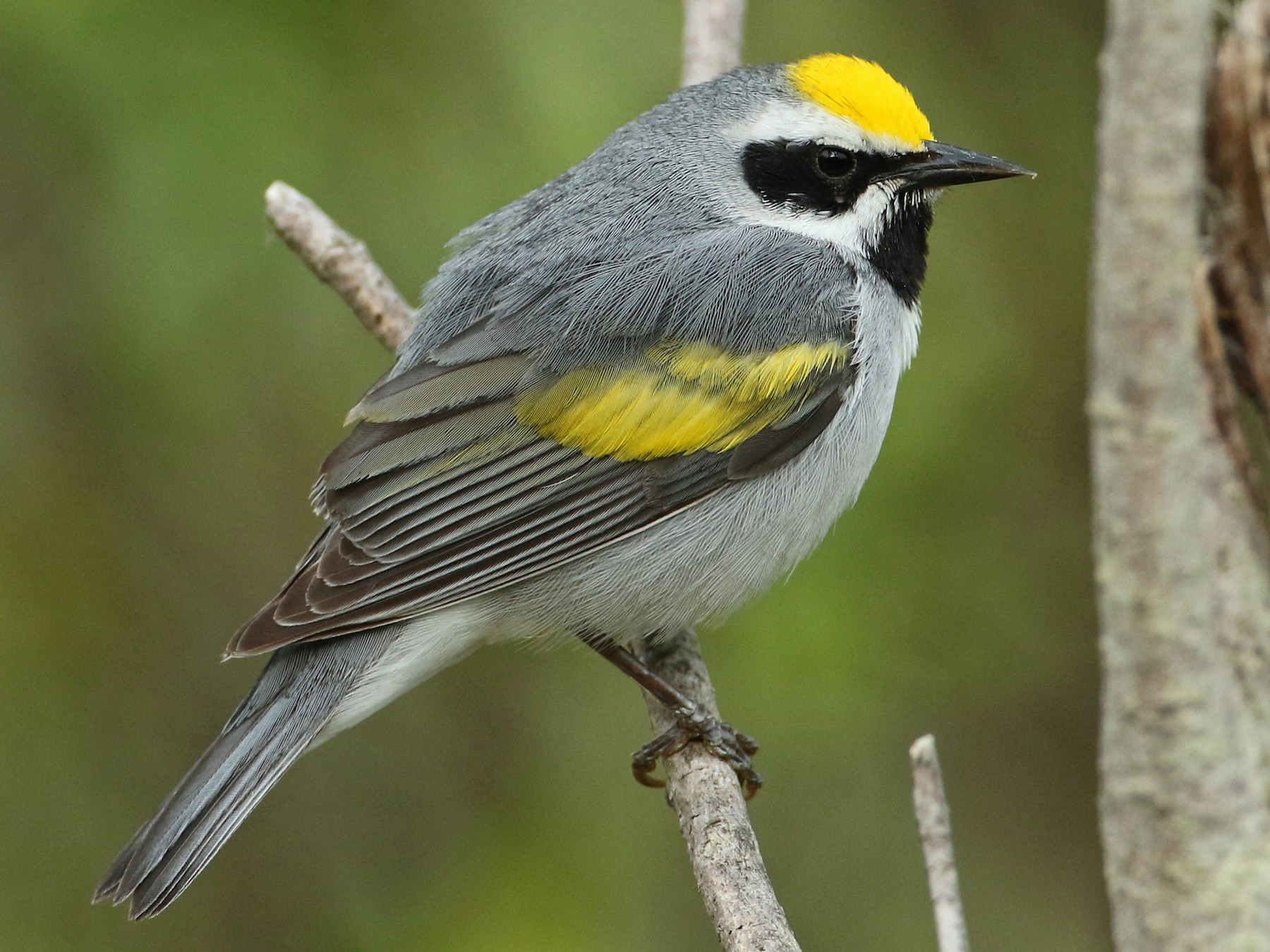Golden-winged Warbler - Luke Seitz