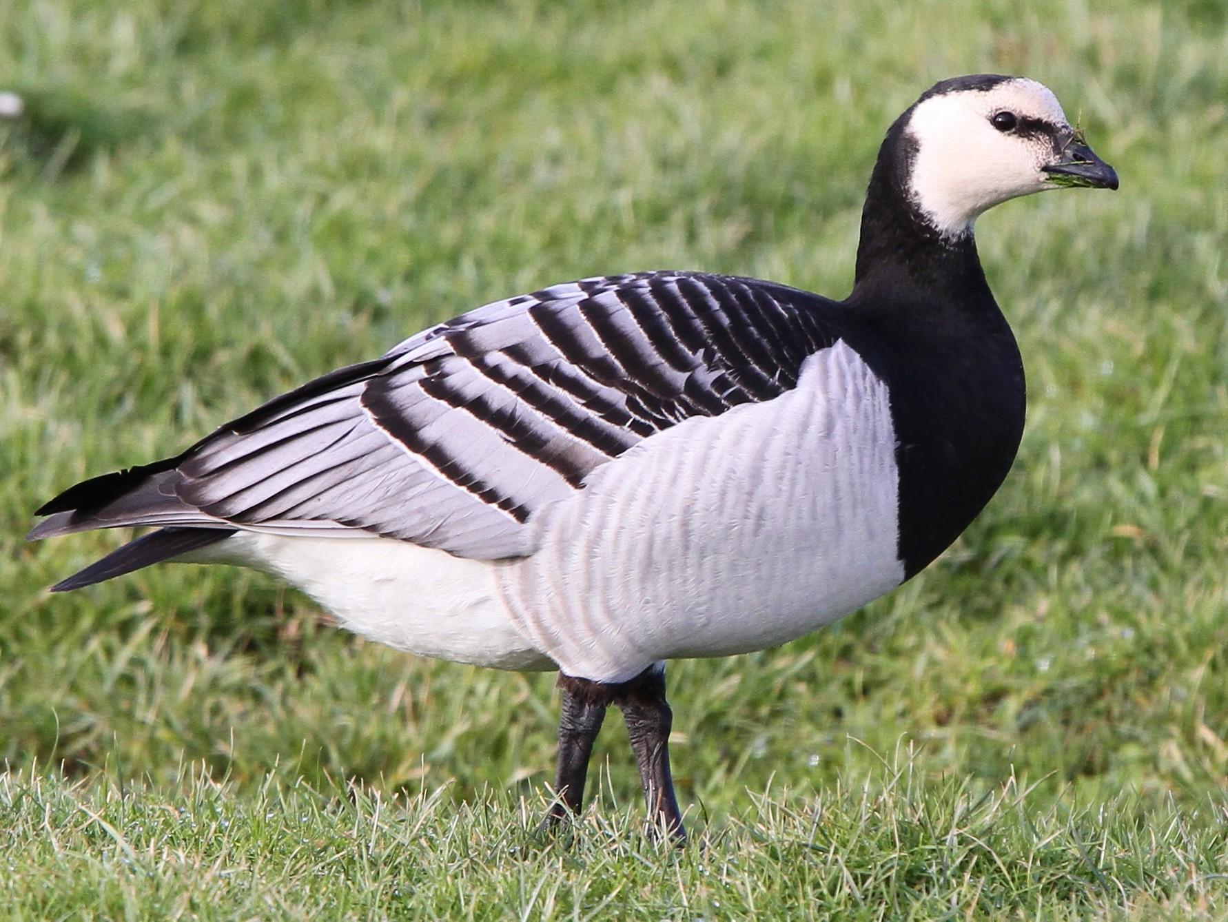 Barnacle Goose - Christoph Moning