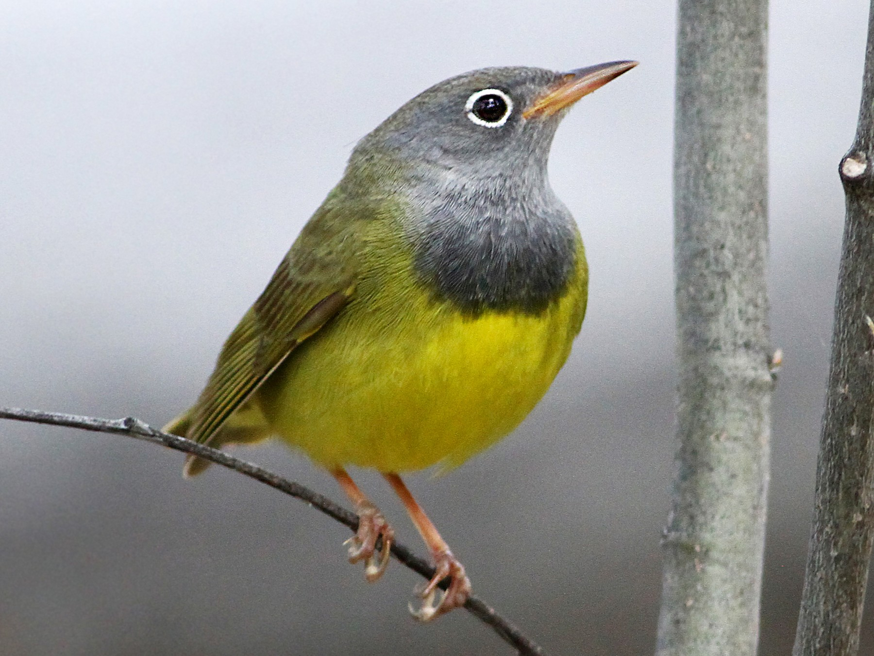 Connecticut Warbler - Andrew Spencer