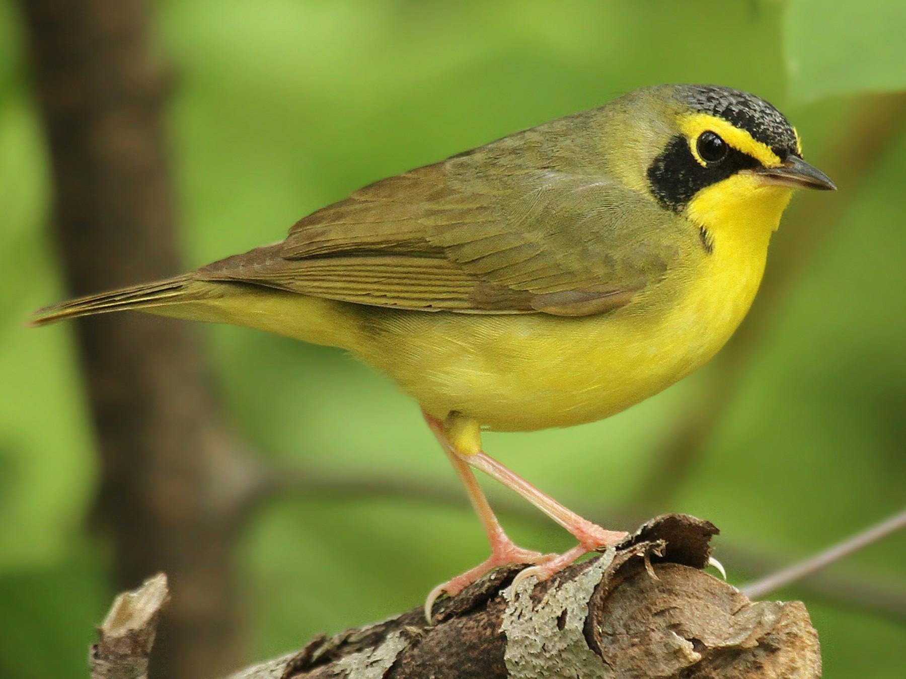 Kentucky Warbler - Ryan Schain