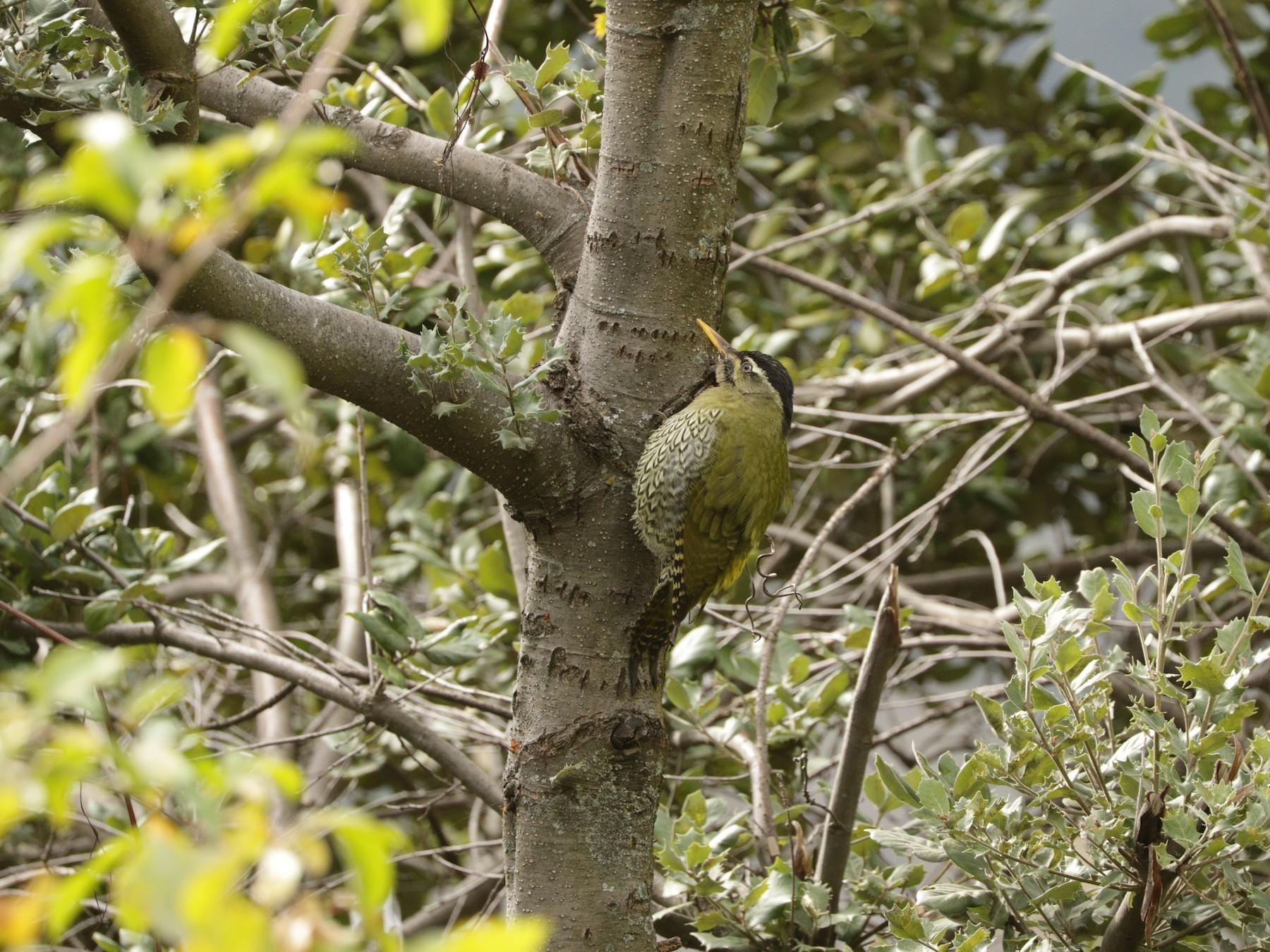 Scaly-bellied Woodpecker - Suresh  Rana