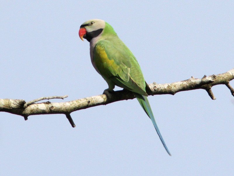 Red-breasted Parakeet - Richard Dunn