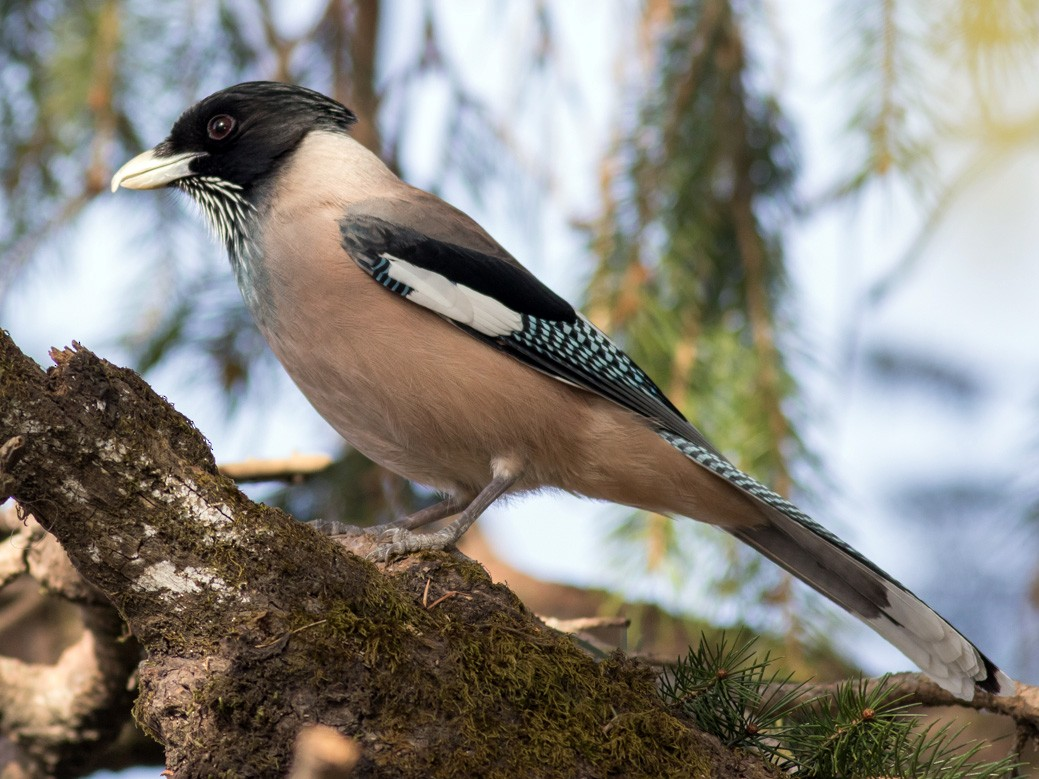 Black-headed Jay - Tom Johnson