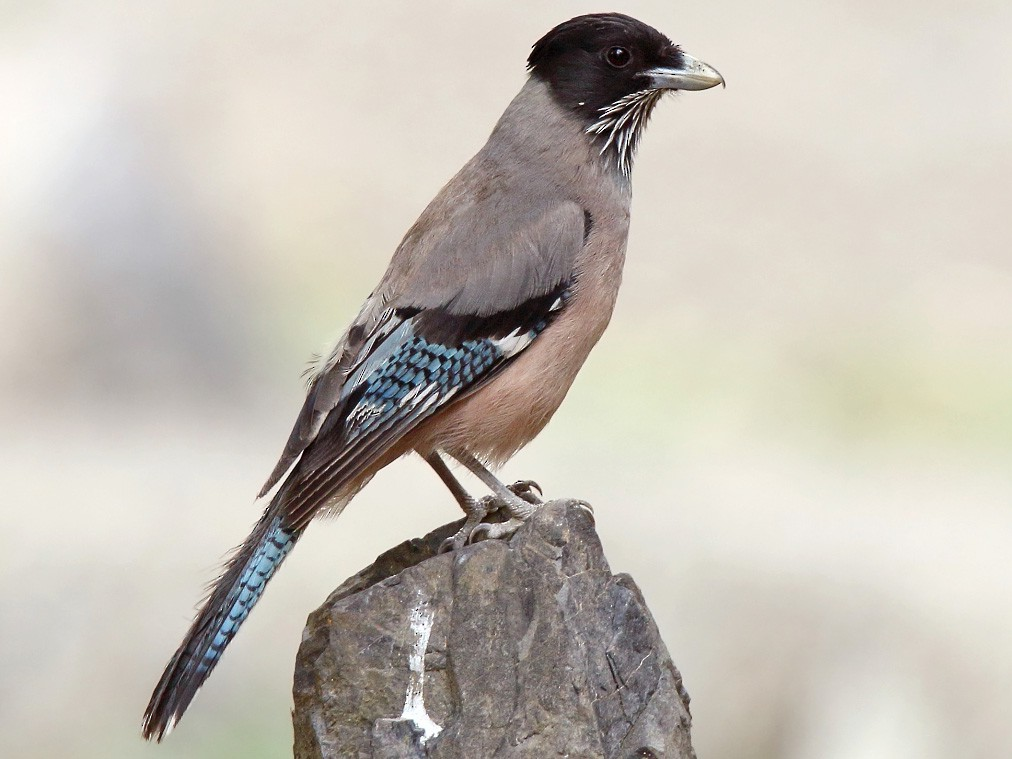 Black-headed Jay - Martjan Lammertink
