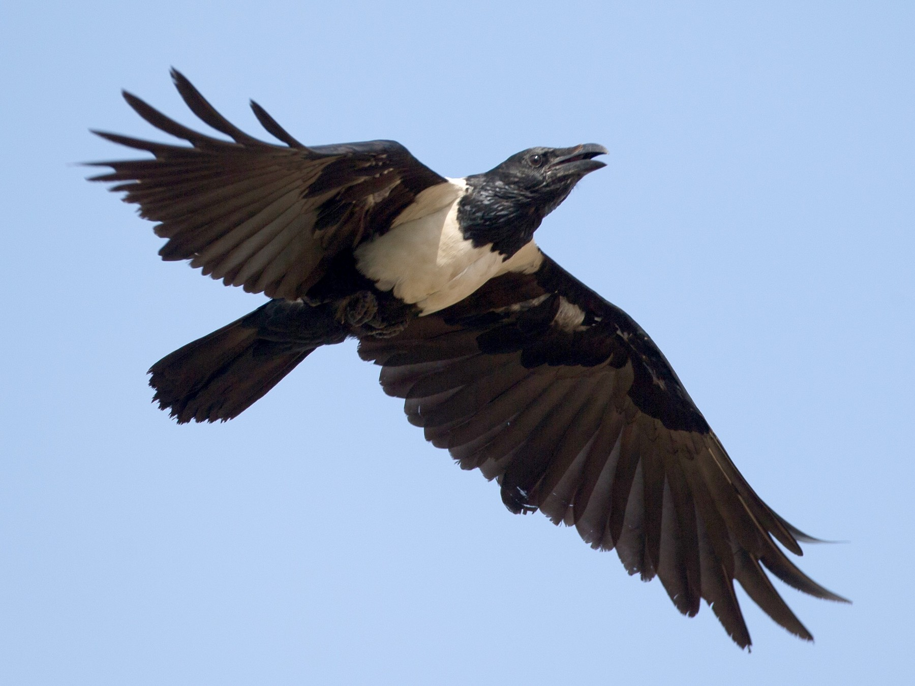 Pied Crow - Chris Wood