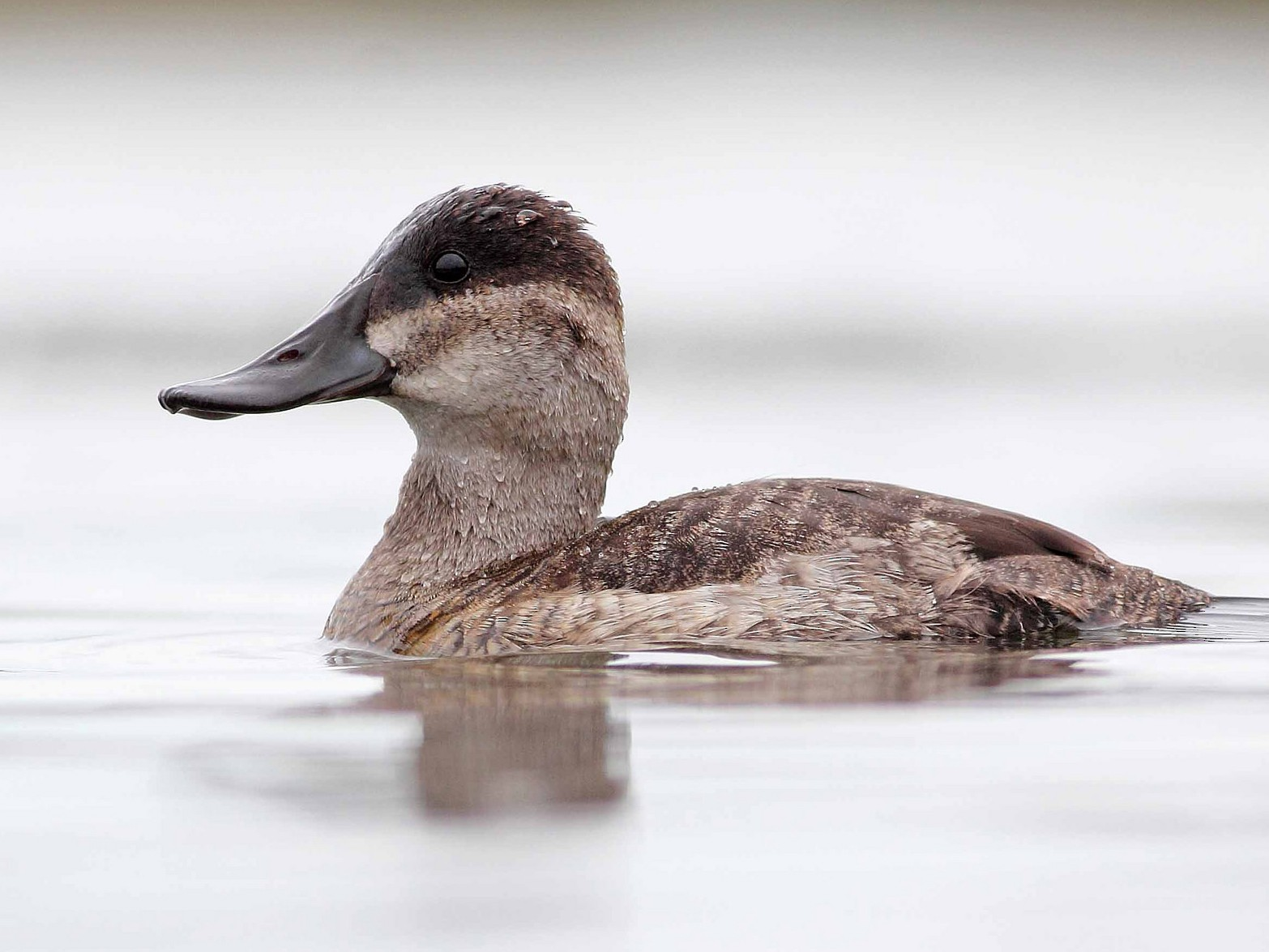 Ruddy Duck - Liron Gertsman