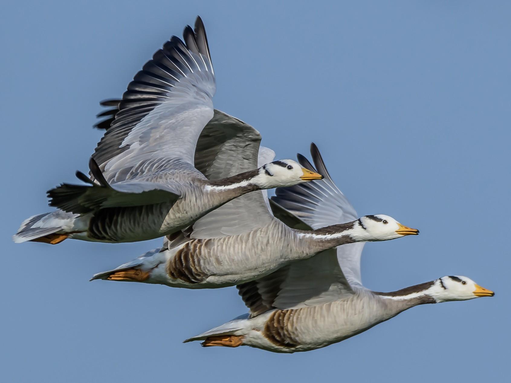 Bar-headed Goose - Nitin Chandra