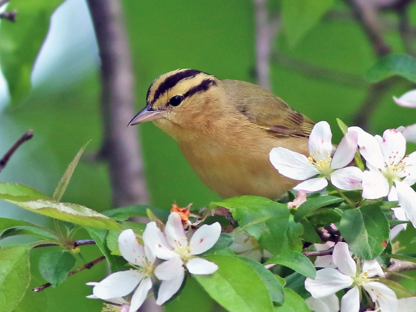 Worm-eating Warbler - Jeremiah Trimble
