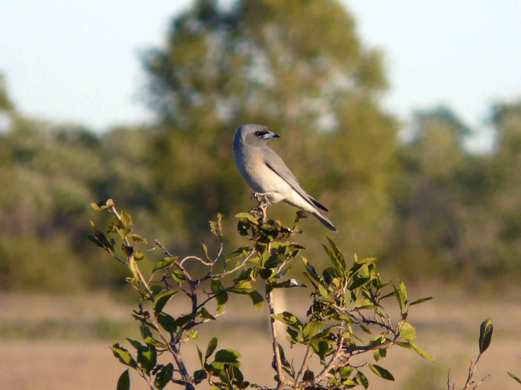 Masked Woodswallow - Ric Else