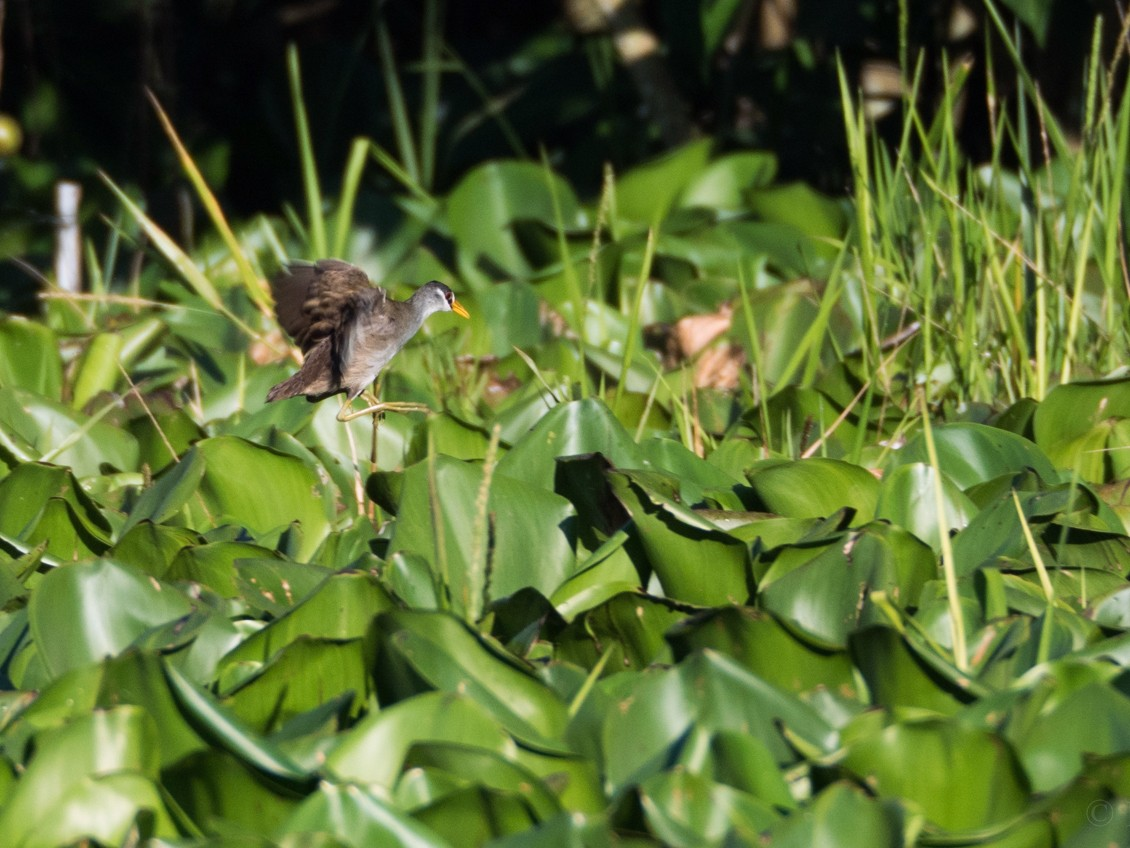 White-browed Crake - Forest Jarvis