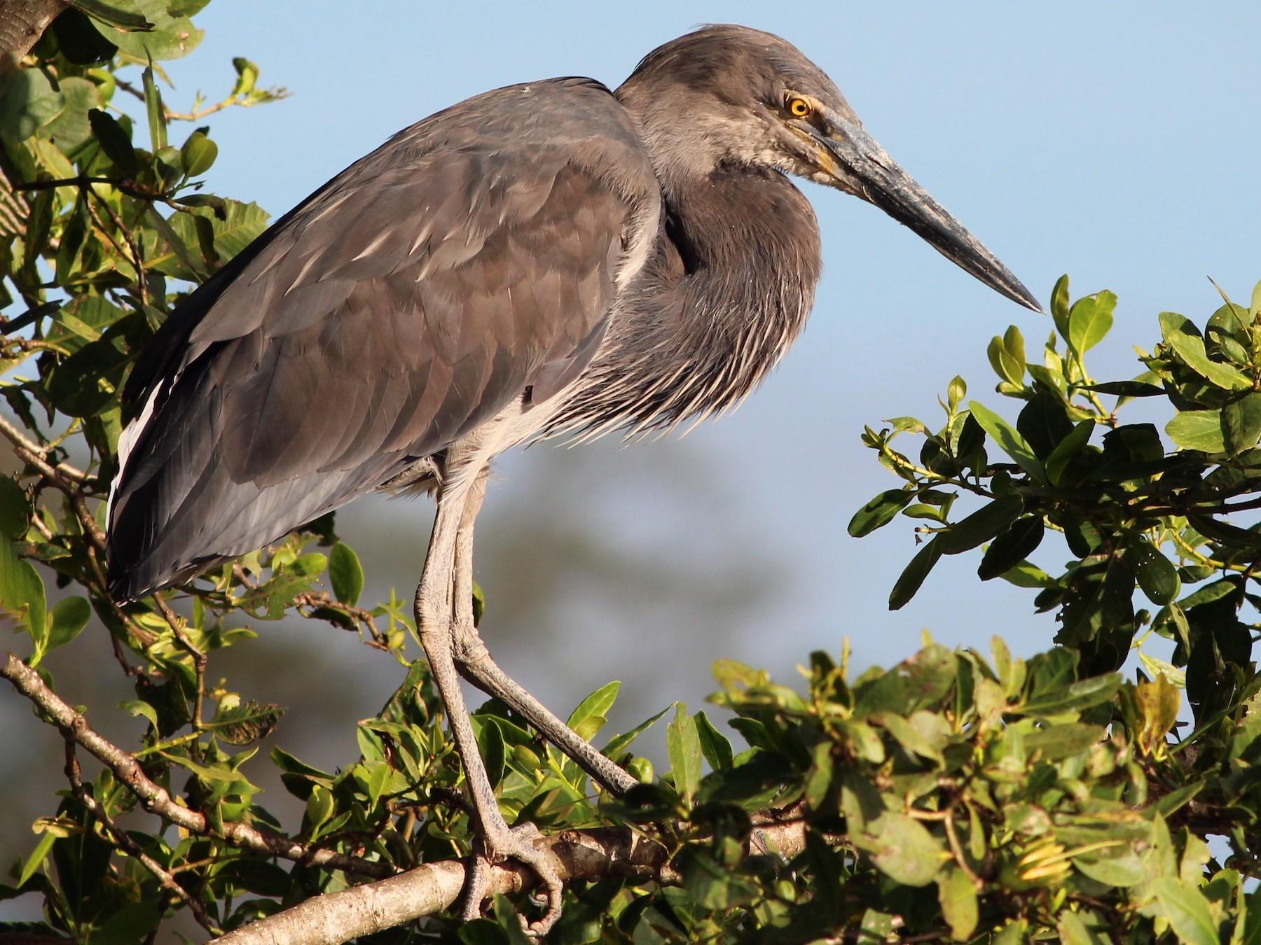Great-billed Heron - Gary Leavens