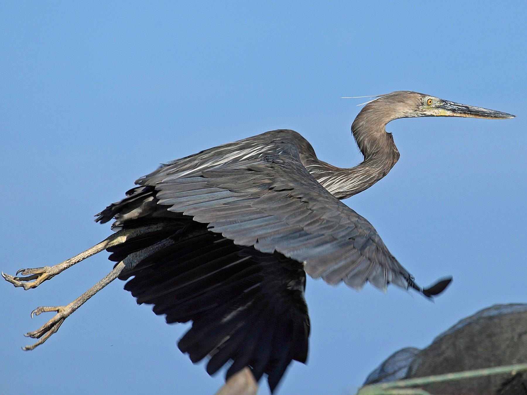 Great-billed Heron - Nigel Voaden