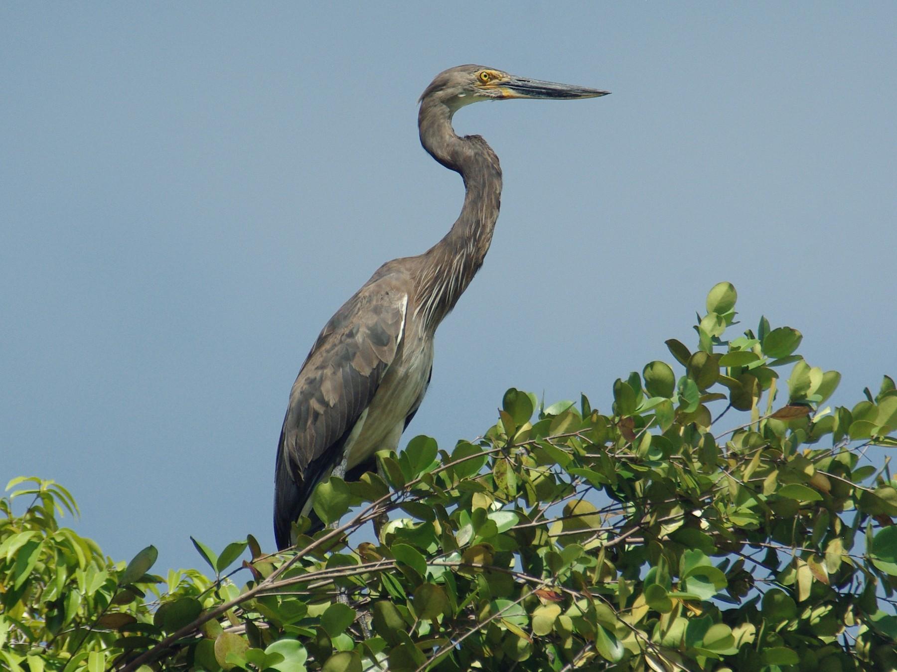 Great-billed Heron - Jonathan Pap