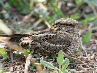 - Scissor-tailed Nightjar