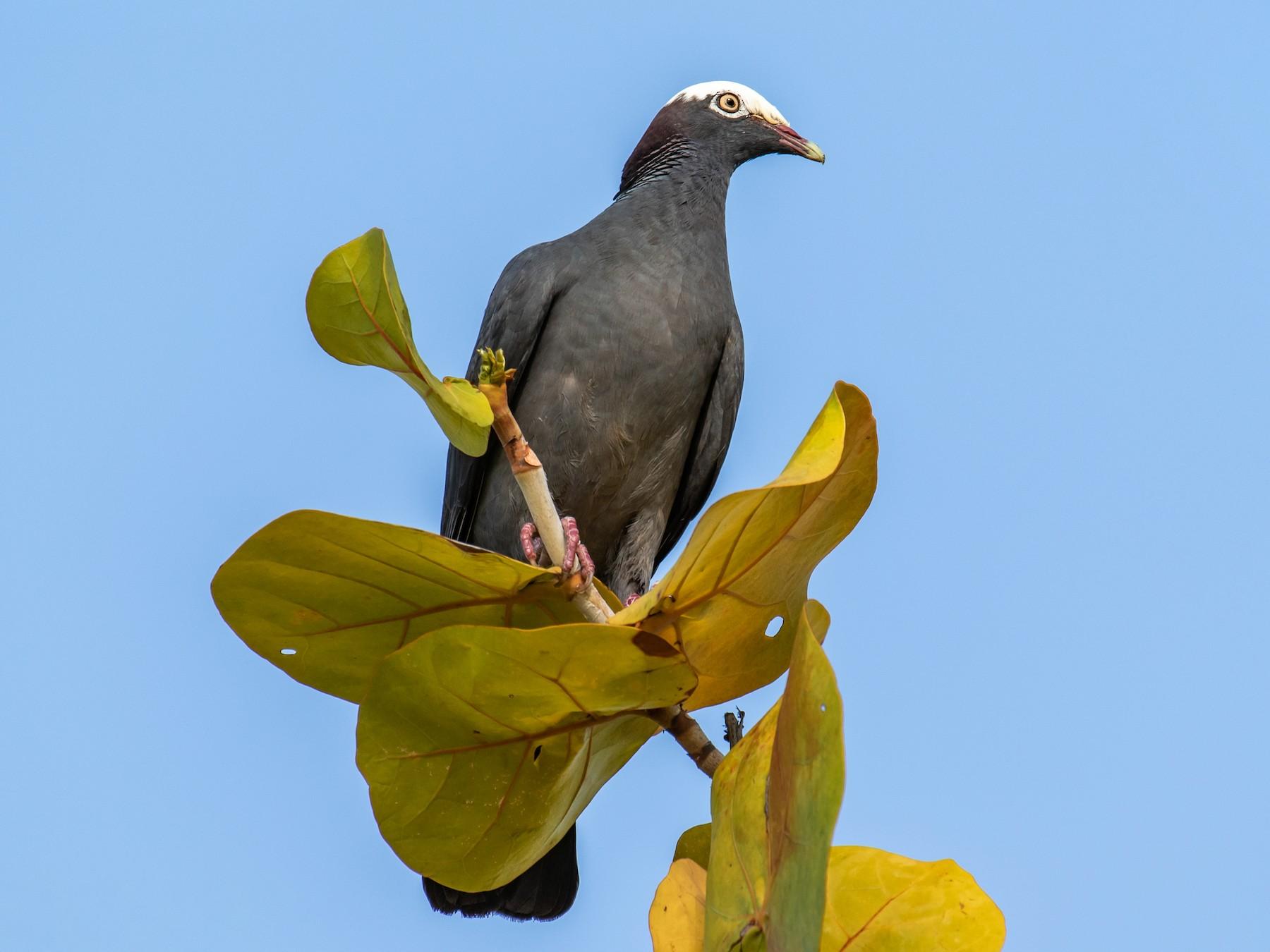 White-crowned Pigeon - Chris S. Wood