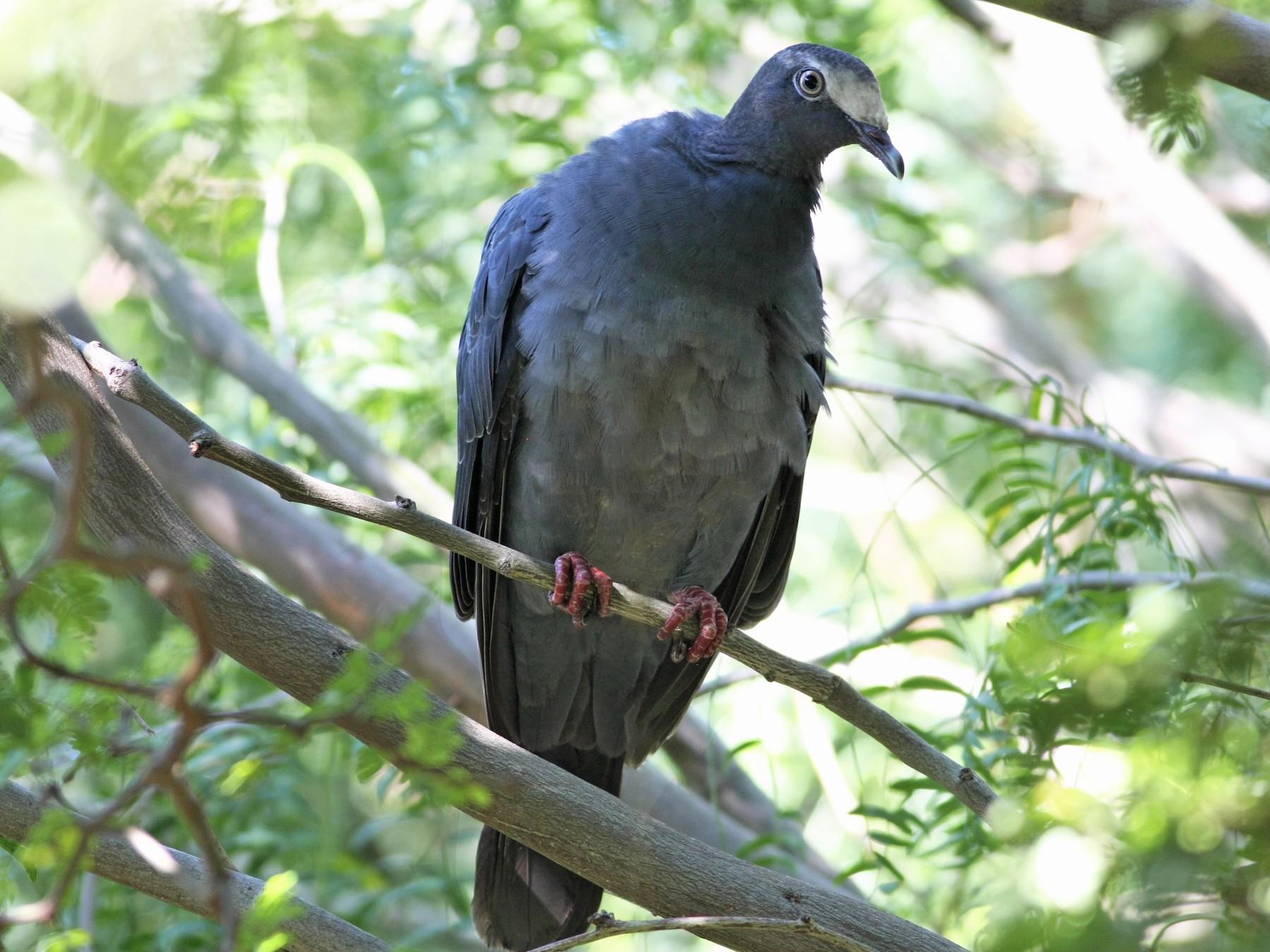 White-crowned Pigeon - Wyatt Egelhoff