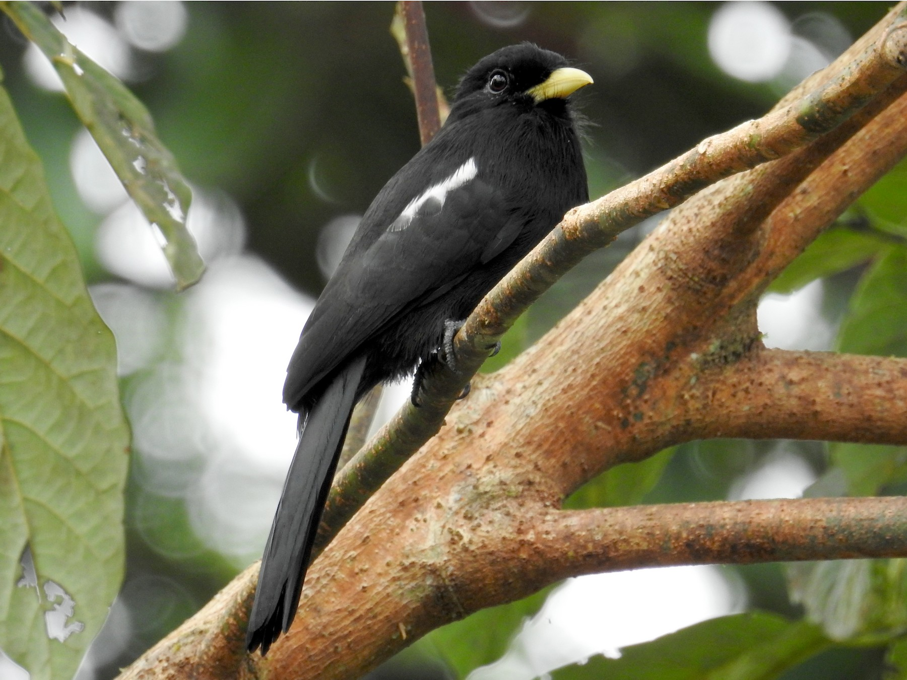 Yellow-billed Nunbird - Óscar Jaimes