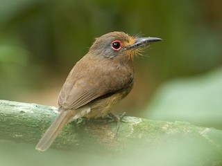 - Fulvous-chinned Nunlet