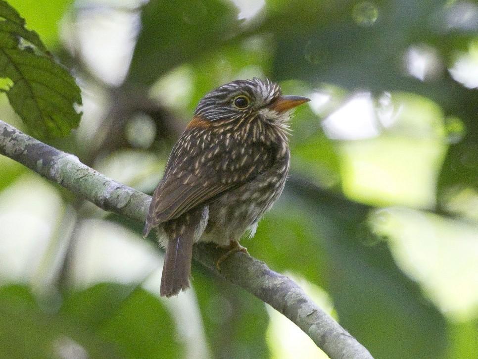 Semicollared Puffbird - Gordon Dimmig