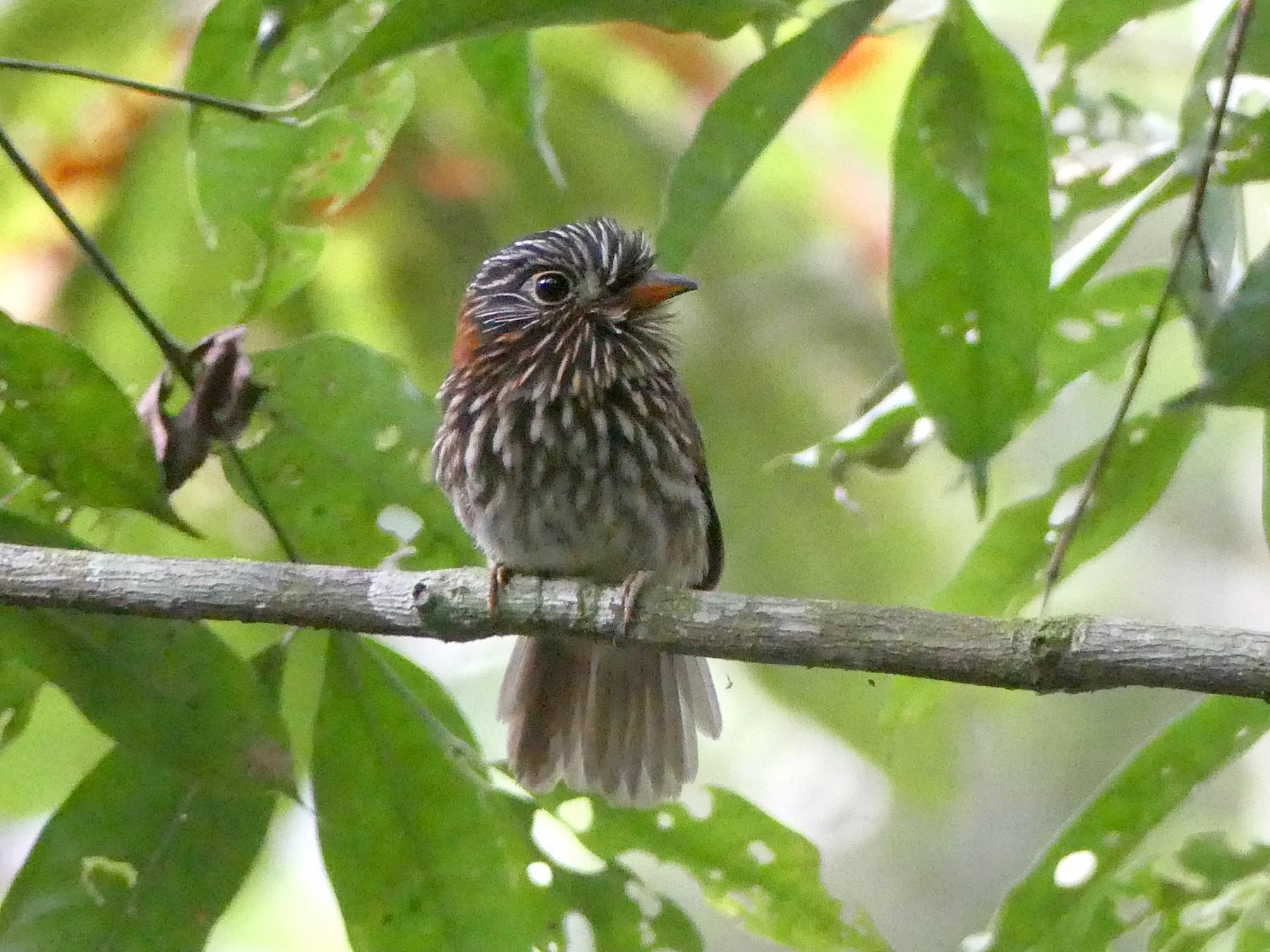 Semicollared Puffbird - Dan Rabosky