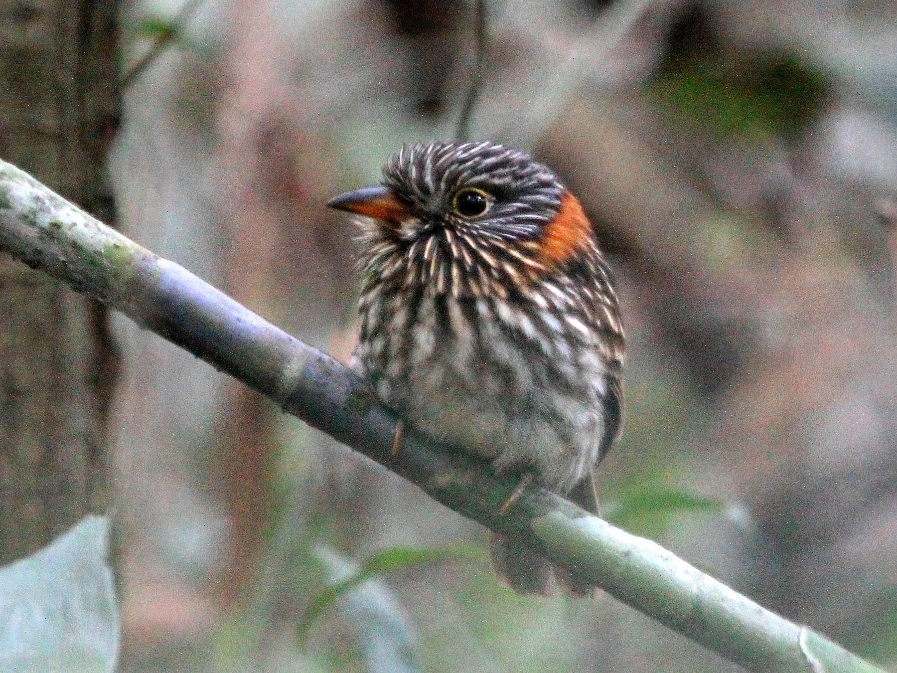 Semicollared Puffbird - Stephen Gast