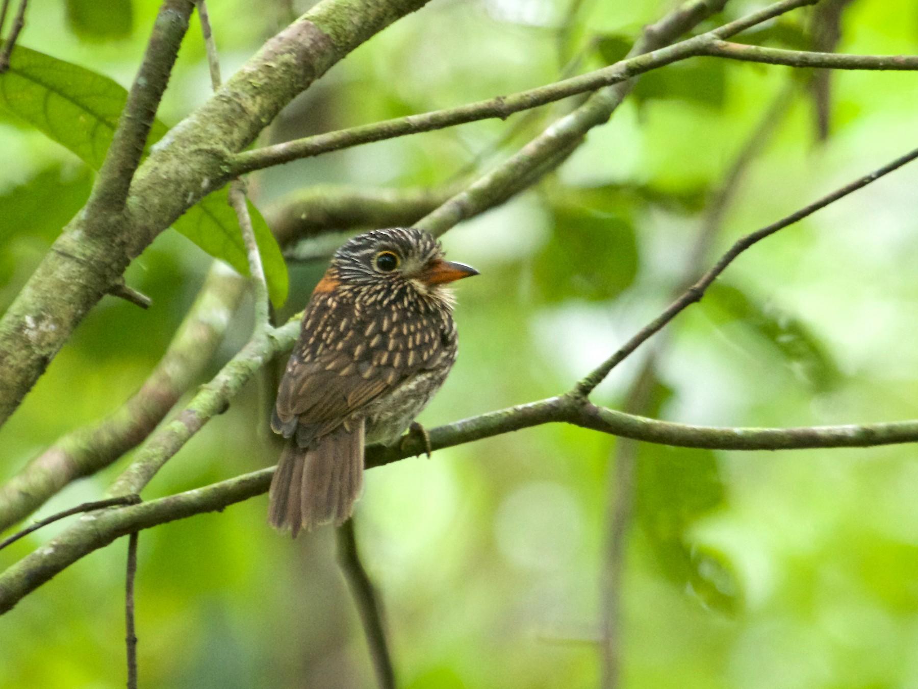 Semicollared Puffbird - Will Sweet