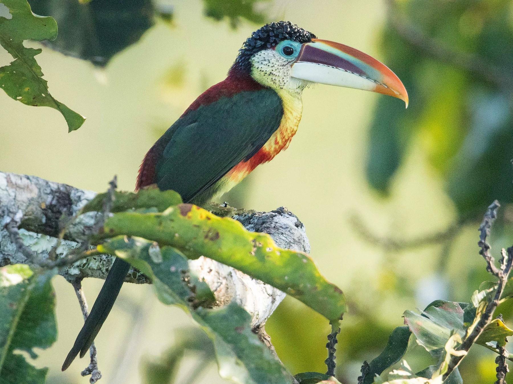 Curl-crested Aracari - Eric VanderWerf