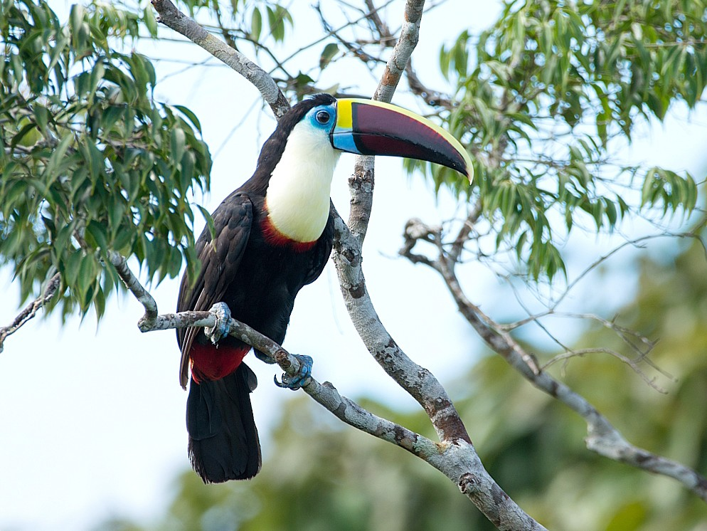 White-throated Toucan - LUCIANO BERNARDES