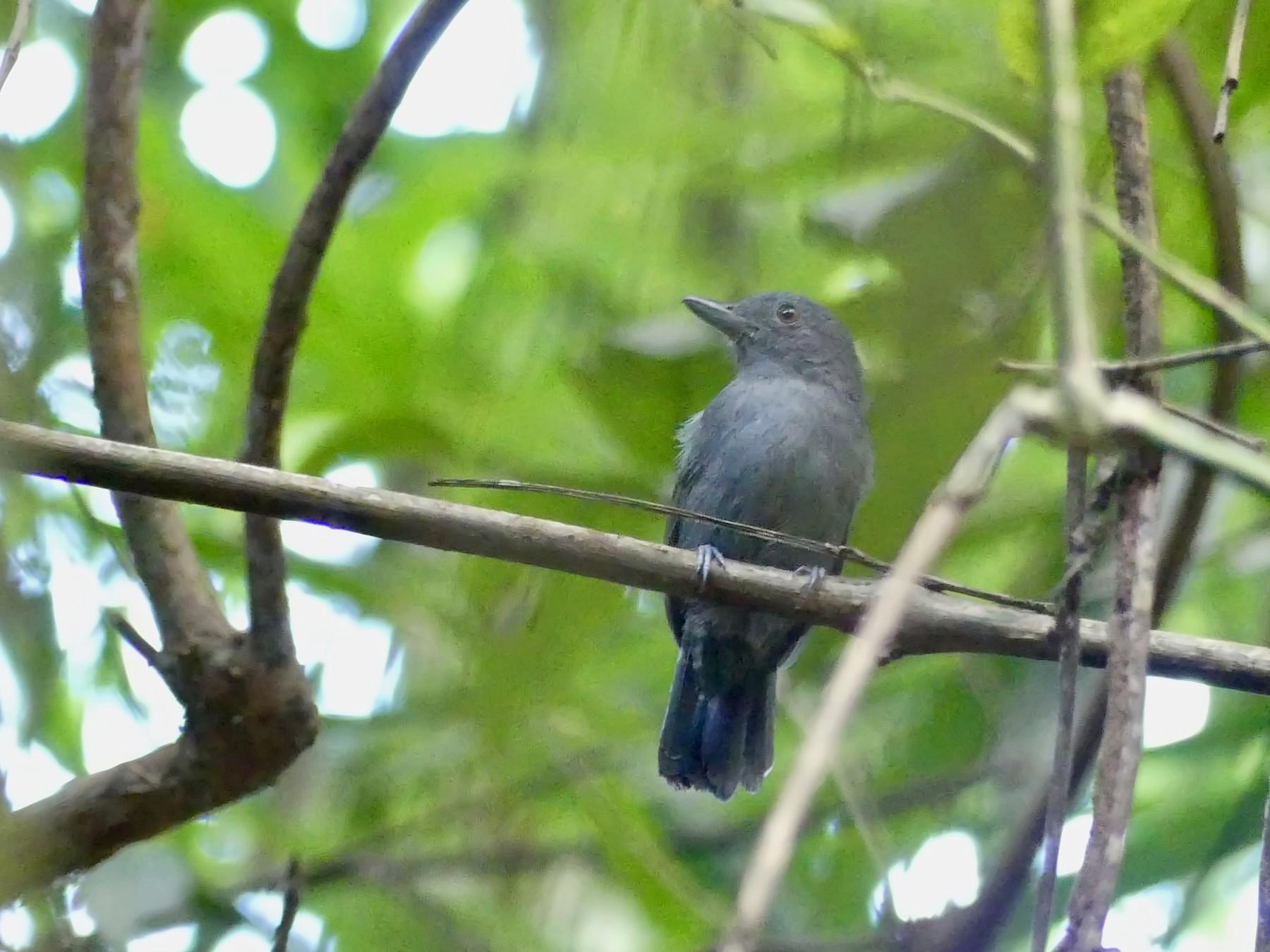 Plain-winged Antshrike - Andrew Bailey