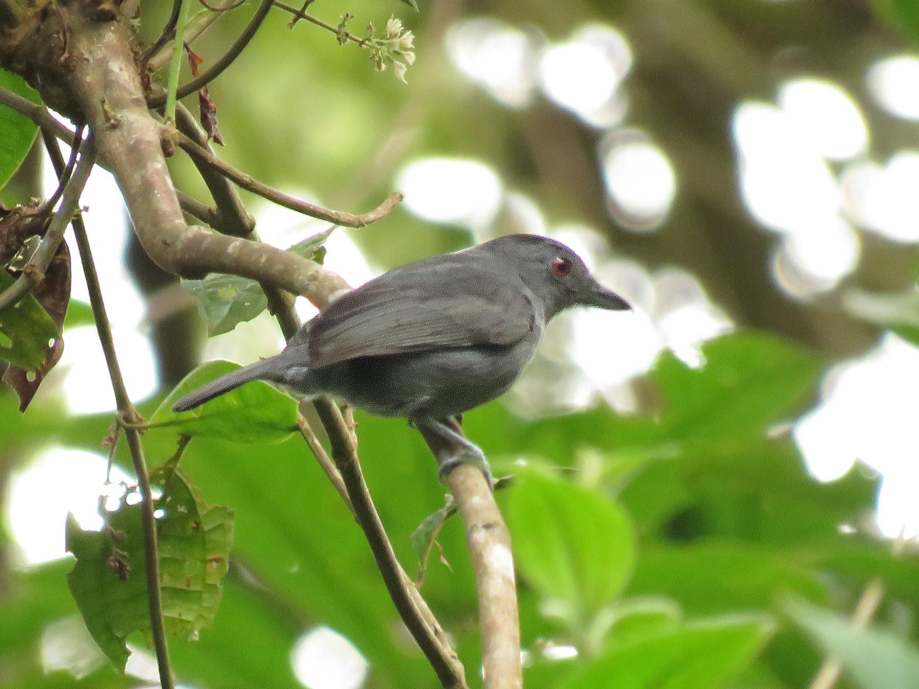 Plain-winged Antshrike - Brayan Coral Jaramillo